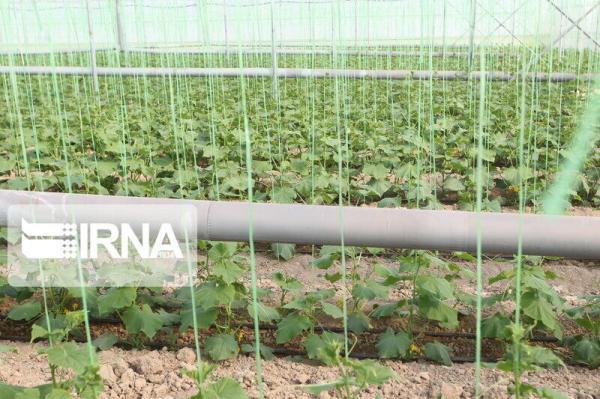 خبرنگاران فراوری محصول گلخانه ای پارسال در ابرکوه 20 درصد افزایش یافت